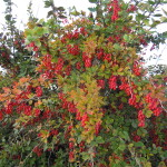 Barberry Root- Berberis vulgaris