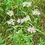 Bergamot Herb – Monarda fistulosa