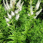 Culver's Root - Veronicastrum virginicum