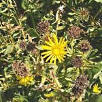 Grindelia – Grindelia robusta