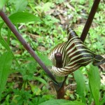 Indian Turnip – Arisaema triphyllum