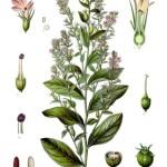 Lobelia Herb - Lobelia inflata