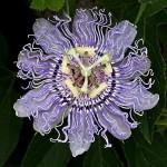 Maypop-Passion Flower – Passiflora incarnata