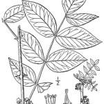 Prickly Ash Bark (Northern) - Zanthoxylum americanum