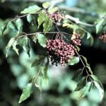 Prickly Ash Bark (Southern) - Zanthoxylum clava-herculis