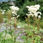 Queen of the Meadow - Filipendula ulmaria