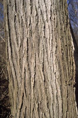 Oak  The Goddess Tree
