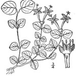 Squaw Vine - Mitchella repens