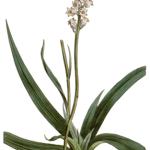 Star Grass - Aletris farinosa