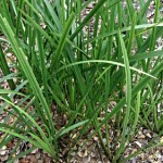 Sweet Flag Root - Acorus calamus