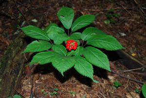 american ginseng with fruit