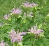 Bergamot Herb - Monarda fistulosa