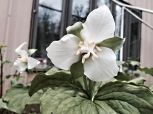 Beth Root – Trillium erectum