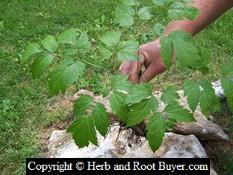 Black Cohosh – Cimicifuga racemosa | Root Buyer