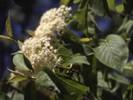 Black Haw Bark - Viburnum prunifolium