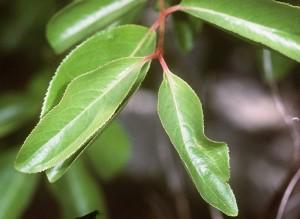 Black Haw Bark – Viburnum prunifolium