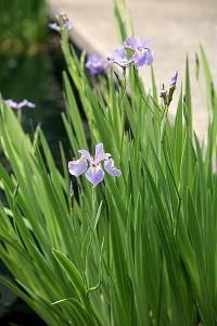 Blue Flag Iris – Iris versicolor