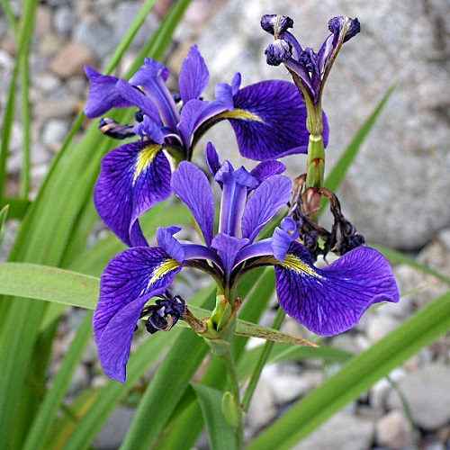 Blue Flag Iris Iris Versicolor Root Buyer