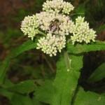 Boneset – Eupatorium perfoliatum