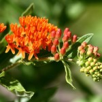 Butterfly-Pleurisy Root – Asclepias tuberosa