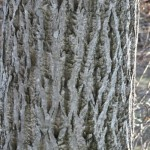 Butternut Bark – Juglans cinerea