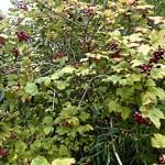 Cramp Bark – Viburnum opulus
