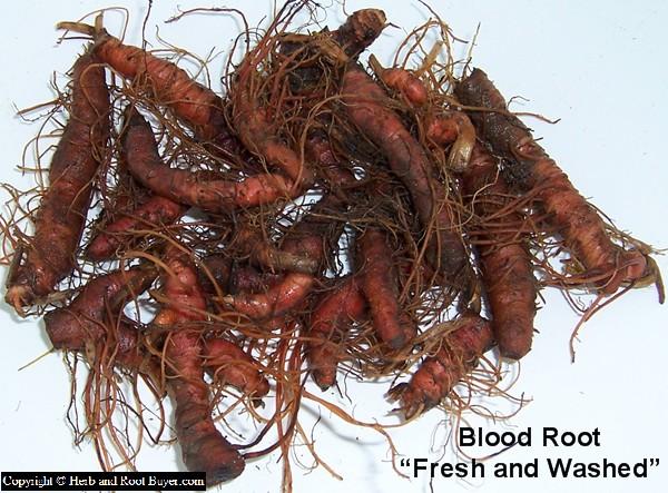 Blood Root – Sanguinaria Canadensis | Root Buyer