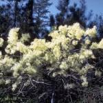 Fringe Tree - Chionanthus virginicus