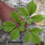 Ginseng - Panax quinquefolius