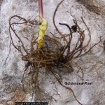 Goldenseal – Hydrastis Canadensis