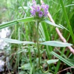 Heal All - Prunella vulgaris