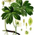 Mayapple Root - Podophyllum peltatum