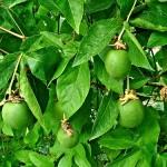 Maypop-Passion Flower - Passiflora incarnata