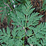 Osha Root - Ligusticum porteri