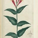Pink Root – Spigelia marilandica