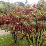 Pokeweed Root - Phytolacca Americana