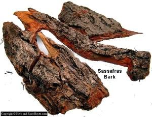 Sassafras – Sassafras albium