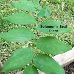 Solomon's Seal Root - Polygonatum biflorum