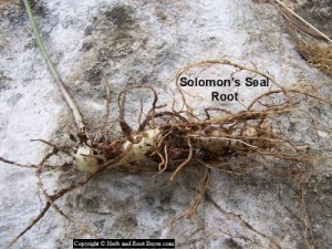 Solomon's Seal Root – Polygonatum biflorum