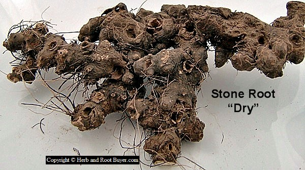 Stone Root – collinsonia canadensis | Root Buyer