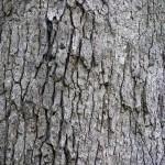 White Oak Bark - Quercus alba