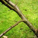 Wild Cherry Bark - Prunus serotina
