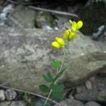 Wild Indigo Root - Baptisia tinctoria